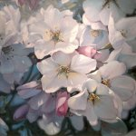 Michael Godfrey, Spring Cherries, oil on canvas, 30 x 30 inches