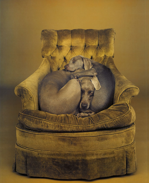 William Wegman, Nest, 1989/2008, pigment print, 24 x 19 5/8 inches